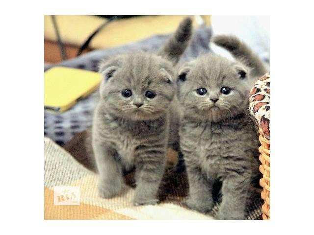 британские вислоухий котенок фото