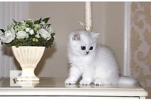 Британские котята короткошерстные и длинношерстные