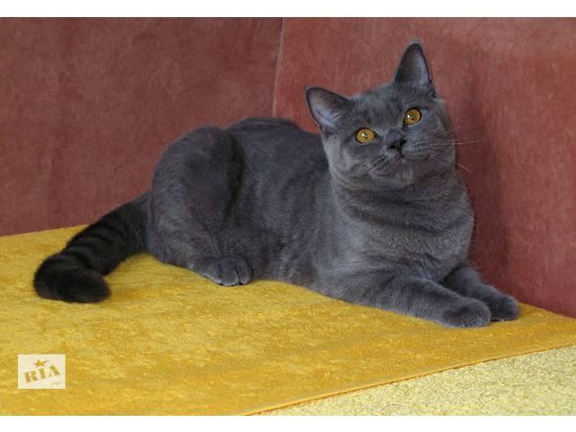 бу Британский голубой короткошерстный кот - настоящий аристократ в Харькове