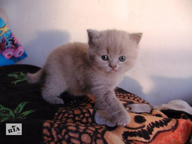 купить бу Британский короткошерстный голубой котенок; чистопородный, клубный в Киеве