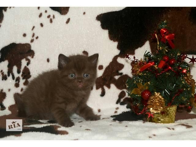 Британский котёнок, шоколад- объявление о продаже  в Одессе
