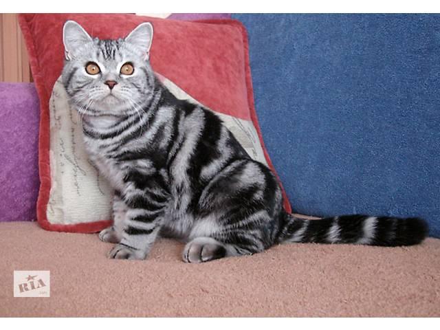 продам Британский котик IDEAL бу в Запорожье