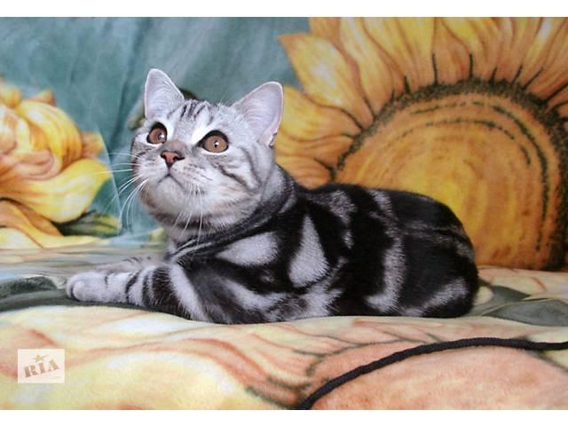 купить бу Британский котик IRIS классического мраморного окраса в Киеве