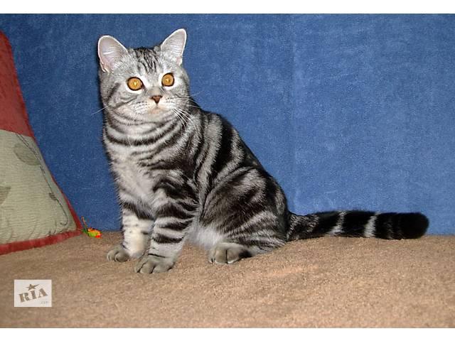 продам Британский котик - мечта бу в Запорожье