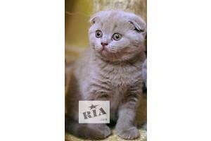 Британський кіт Британська короткошерстна вiслоуха дівчинка