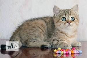 Британский короткошерстный котенок-мальчик золотой затушеванный.