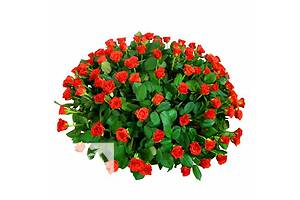 Букет из 101 розы  . Доставка по Киеву и области. Цветы, букеты, оформление свадеб.