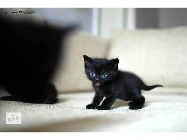 продам Бурманская кошка - метис соболиного окраса [шоколад] бу в Днепре (Днепропетровск)