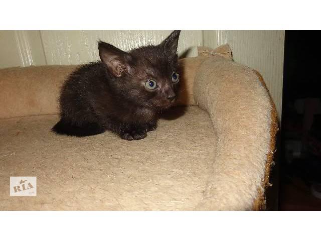 Бурманские (бурма) котята- объявление о продаже  в Харькове