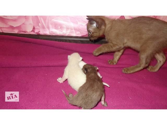 купить бу бурманские (бурма) котята в Харькове