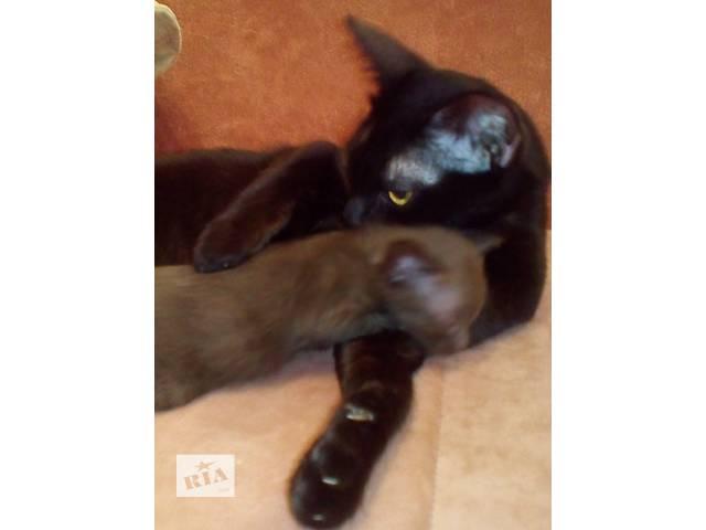 продам Бурманские (бурма) котята бу в Харькове