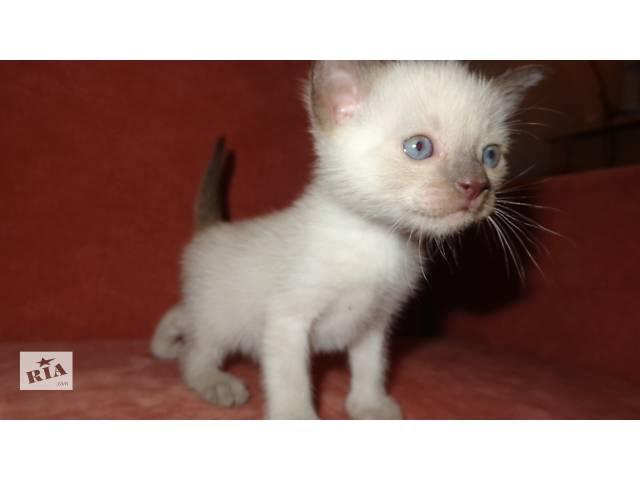 бу Бурманские (бурма) котята в Харькове