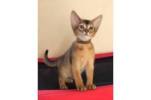 Абіссинські кішки