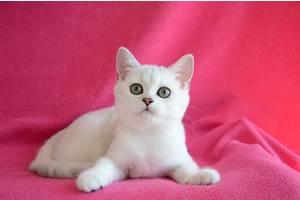 Британские кошки