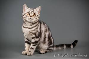 Британські кішки