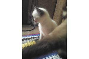 Сіамські кішки