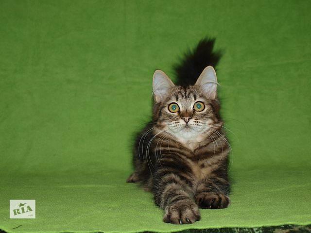 продам Элитные сибирские котята бу в Николаеве