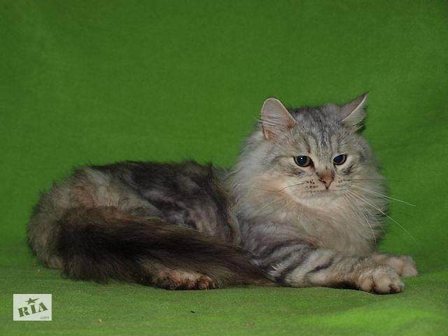 бу Элитные сибирские котята в Николаеве