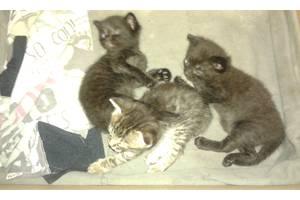 Бомбейські кішки