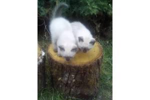 Сиамскиекошки