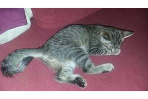 Тайские кошки