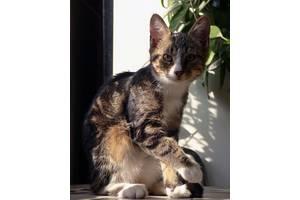 Котенок, 4 месяца мраморный с беленьким