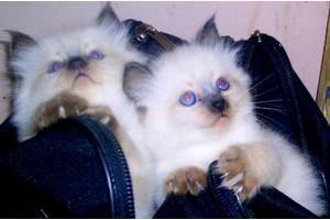 Балинезийскиекошки