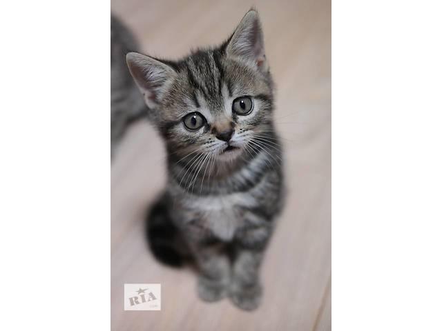 продам Мармурова прямоухая кішечка по кличці Кавунчик бу в Вінниці
