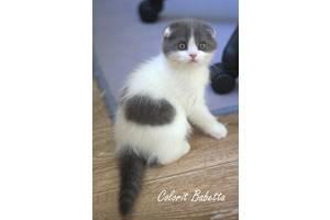 Шотландські кішки