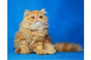 Коты персы в дар