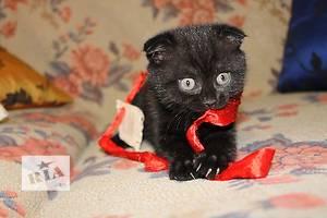 Шотландська кішечка