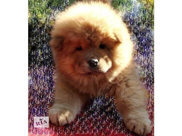Картинка щенки чау-чау продаем, фото 1 популярные