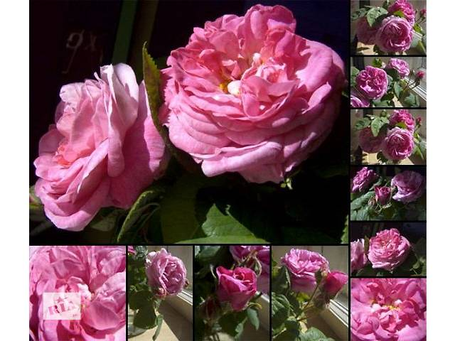 бу Чайная роза саженцы в Николаеве