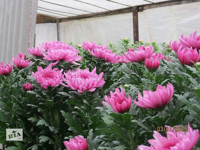 продам Черенки крупноцветковой хризантемы бу в Чернигове