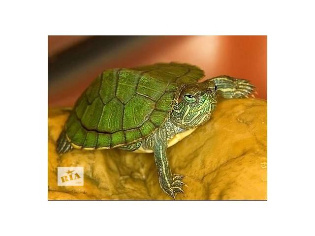 Черепаха красноухая- объявление о продаже  в Харькове