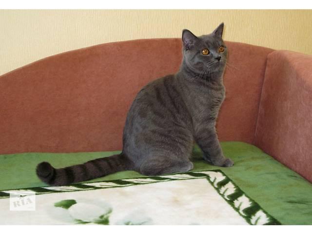 бу Чудесный британский котенок-подросток в роскошном классическом окрасе в Киеве