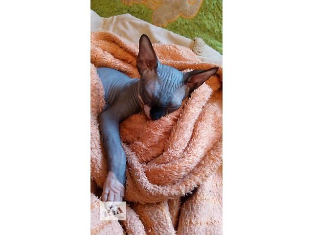 купить бу Чудный котик канадского сфинкса в Николаеве
