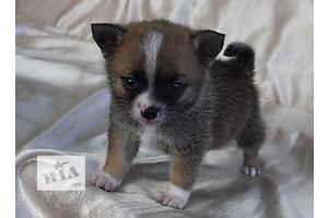 Собаки, цуценята в Дніпропетровську - объявление о продаже Вся Україна