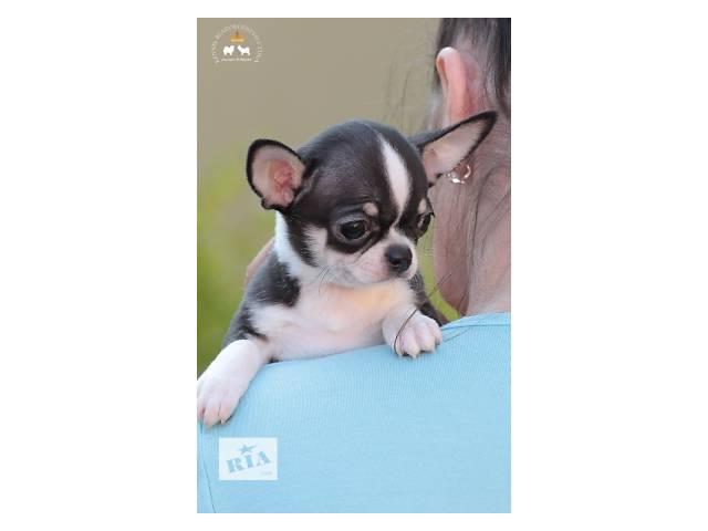 купить бу Чихуахуа - роскошный малыш!!! в Николаеве