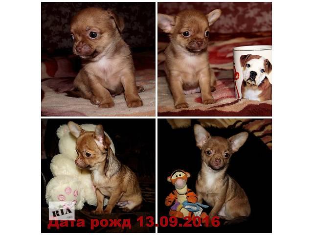 Чихуахуа продаются- объявление о продаже  в Одессе