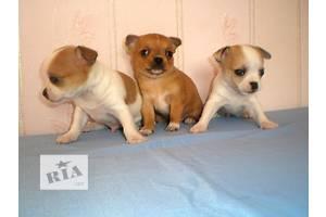 Оголошення Собаки, цуценята