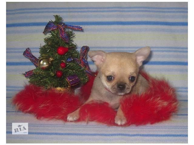 купить бу Чихуахуа - красивые щенки. в Киеве