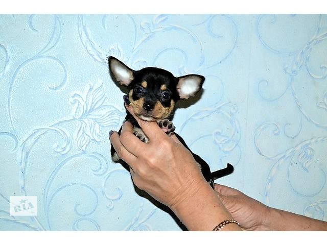 продам Чишечка мальчик черно-подпалого с белым окраса бу в Днепре (Днепропетровске)