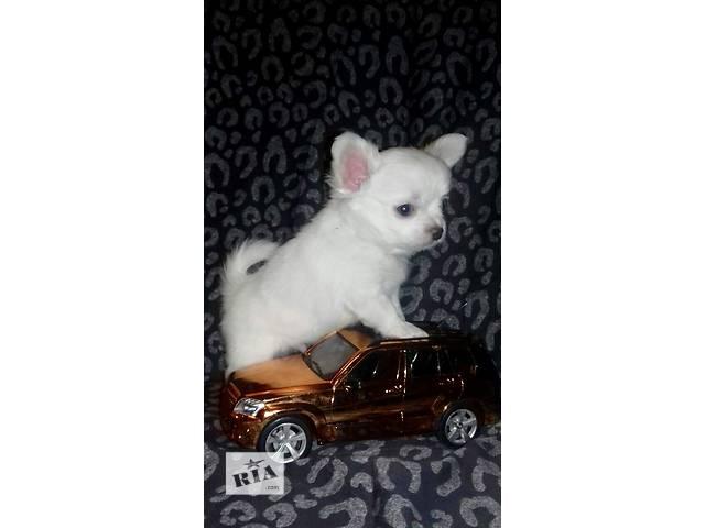 Чисто белый красавец Чихуахуа- объявление о продаже  в Днепре (Днепропетровске)