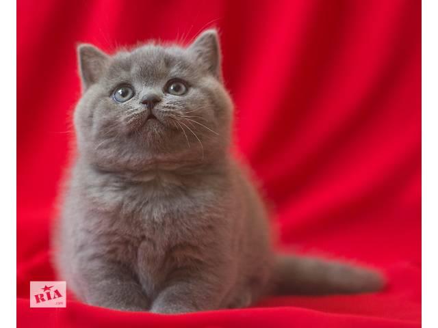 продам Чистокровные британские кошечки от Чемпиона мира! бу в Киеве