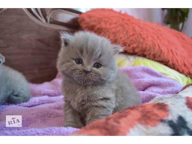 Чистокровные британские котята- объявление о продаже  в Нетешине