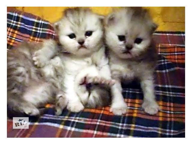 Чистокровные, персидские котята  серебристые- шиншиллы- объявление о продаже  в Запорожье