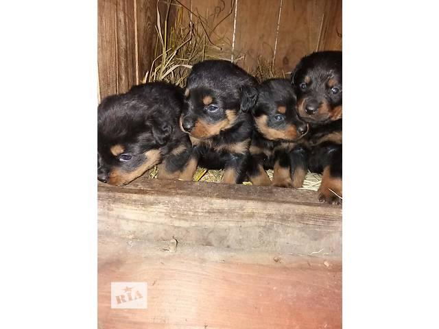 купить бу Чистокровные щенки ротвейлера в Харькове