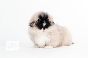 Клубный щенок пекинеса