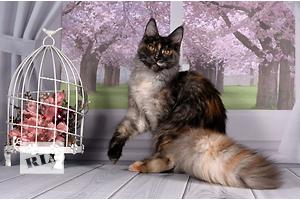 КУБА котёнок мейн-кун.